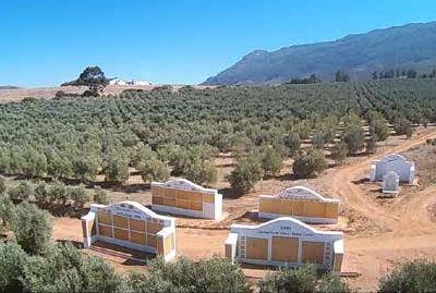 Olive Peace Grove on Goedgedacht Farm